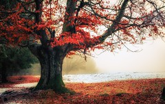 ... (go-Foto) Tags: fall tree autumn red redleaves fog forest dream snowy