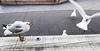 151. JOHNATHAN 6: Market Monopoly (Meili-PP Hua 2) Tags: birds gulls seagulls seabirds waterbirds gull seagull coast coastal marine sea ocean seaside beach seashore avian mlpphfauna bird wildbirds mlpphnature nature