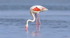 Greater Flamingo (arunprasad.shots) Tags: flamingo greaterflamingo pulicat birdsofindia indianbirds tamilnadu chennaibirding chennai explore ngc nikon200500 nikond500 nikon wetlandbird shorebirds pink