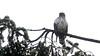 Cooper's Hawk (Immature) (praja38) Tags: birdofprey capricorn humour life wildlife nature caps cap animal predator hunting talons perch bc vancouver coopershawk canada