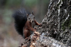 Ciao  :)) (carlo612001) Tags: scoiattolo natura squirrel nature wood forest friend friends flickr ciao cute lovely sweet model mymodel