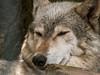 woolfie (pamelaadam) Tags: digital scotland summer thebiggestgroup fotolog animal wolf june 2007 dundee meetup