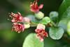 Manzanito de japón (leograttoni) Tags: naturaleza nature airelibre arbusto bush manzanitodeljapón chaenomeles jardín garden laplata buenosaires