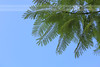 Italy Sorrento branch leaf tree (itsabreeze) Tags: italy sorrento summer leaves bluesky jacaranda jacarandatree branch