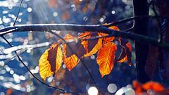 Enlightenment (ej - light spectrum) Tags: macro makro nature natur lightning backlight olympus omd em5markii mzuiko switzerland schweiz leaves blätter autumn herbst bokeh m60mmf28 sunrais sonnenstrahlen