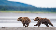 "The Playful Chase *in explore* (Glatz Nature Photography) Tags: explore ""inexplore"" alaska brownbear coastalbrownbear glatznaturephotography lakeclarknationalpark nature nikond5 northamerica salmonrun silversalmoncreek usnationalparks ursusarctos wildanimal wildbear wildlife chase playfight pursuit animals mammals bears springcubs bearcubs eyelevelview beach babyanimals sisters siblings animalsiblings"