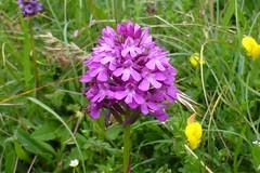 Pyramidal Orchid, Hampshire, England (east med wanderer) Tags: anacamptispyramidalis orchid hampshire chalk downland pyramidalorchid southdownsnationalpark