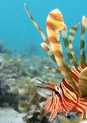 Pterois miles (jeanmarie.gradot) Tags: mauritius maurice trouauxbiches plage lagon reef coral corail rascasse lionfish indian ocean lagoon beach pterois scorp scorpaenidae scorpénidé water snorkeling biology tropical fish nature