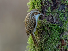 DSC9248  Treecreeper.. (jefflack Wildlife&Nature) Tags: tree creeper creepers treecreeper birds avian animal wildlife wildbirds woodlands trees hedgerows forest songbirds gardenbirds countryside nature