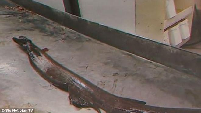 Bắt được loài cá mập thân dài như rắn, miệng 300 răng có từ thời tiền sử - Ảnh 1.