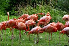 Colorful flamingo (Carandoom) Tags: 2017 suisse switzerland animal flamant rose flamingo pink red rouge oiseau bird zoo bâle basel