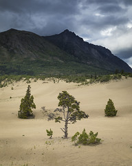 Golden Dunes and Grey Sky (andrewpmorse) Tags: carcross yukon yukonterritory desert sand sanddunes arid clouds sky landscape grey landscapes canon leefilters leelandscapepolarizer lee06ndgrad trees mountains dramatic northerncanada