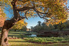 Oak Framed (alanrharris53) Tags: bradgate bradgatepark colour color autumn leaves oak tree trres