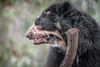 Always Curious (helenehoffman) Tags: spectacledbear bear alba conservationstatusvulnerable mammal sandiegozoo ursidae southamerica carnivore andeanbear tremarctosornatus animal