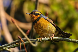 Varied Thrush / Grive à collier