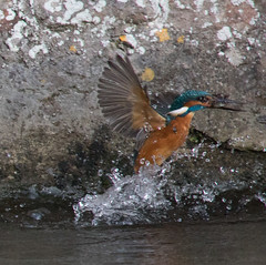 Kingfisher in action (Mukumbura) Tags: kingfisher bird fish fishing catch water splash flying wildlife england alcedoatthis bishopspalace moat wells somerset nature