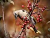 Which One Do I Want (Diane Marshman) Tags: cedar waxwing cedarwaxwing adult tan gray black face mask eyes tail feathers yellow red crabapples fruit fall notheast pa pennsylvania nature wildlife