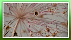 1 of 14 flowers, plants, animals in my garden October 2017 (14) (andantheandanthe) Tags: autumn october garden 2017 close closeups macro wither flower plant orange pink red