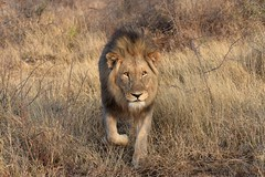 """I'm Looking for Trophy Hunters"" (The Spirit of the World) Tags: lion malelion mane mammal preditor bigcat feline safari gamedrive gamereserve madikwe southafrica africa nature wildlife grasses tallgrasses grass twigs"
