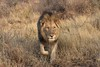 """""""Just Looking for Trophy Hunters"""" (The Spirit of the World ( On and Off)) Tags: lion malelion mane mammal preditor bigcat feline safari gamedrive gamereserve madikwe southafrica africa nature wildlife grasses tallgrasses grass twigs"""