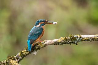 Kingfisher (Alcedo atthis) 750_0895.jpg