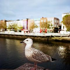 Seagull (Nico Kaiser) Tags: camera:model=hasselblad500c film:brand=kodak film:format=120 film:iso=100 film:lab=meinfilmlab film:name=kodakektar100 dublin exterior bird river liffey gull film:roll=2017078 ireland irl