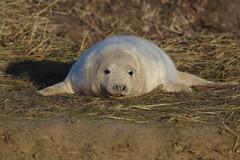 Look at me! (stephen.reynolds) Tags: grey seal lincs widlife trust donna nook beach november 2017
