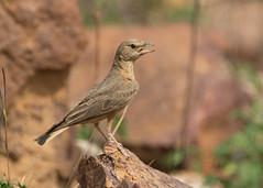 Rufous-tailed Lark (Ammomanes phoenicura) (stuartreeds) Tags: rufoustailedlark india tadobatigerreserve bird lark