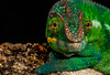 IMG_8632 (garrygeezer) Tags: reptile nature macro garrychisholm chameleonphotography panther canon