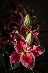 Stargazer (Peter.Luty) Tags: plant plants floweringplants flower flowers flowerhead buds budding stargazerlily lilium red dramaticlighting sidelit naturallylit sunshine petals stigma style stamen nobody