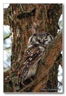 1E1A9365-DL   Nyctale de Tengmalm / Boreal Owl