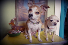 my dogs are cute (EllenJo) Tags: pentaxks1 november27 2017 ellenjo simon hazel pals chiweenie chihuahuamix chihuahua pets dogs
