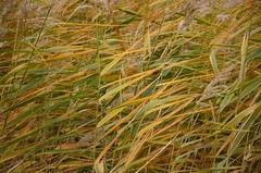 Mörbisch am Neusiedler See (anuwintschalek) Tags: nikond7000 d7k burgenland neusiedlersee mörbisch sügis herbst autumn november 2017 weinland mörbischamsee reeds schilf kõrkjad järv see lake