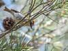 Firecrest (Regulus ignicapilla)-2720 (Stein Arne Jensen) Tags: balearene balearicislands balearischeinseln bird canonef100400f4556lisusm canoneos70d espagne espanya españa estrelinhadecabeçalistada europa europe firecrest fugl fuglekonger goldhähnchen islasbaleares kinglet mallorca pajaro regulidae regulusignicapilla reietócellablanc reyezuelolistado roitelettriplebandeau sommergoldhähnchen sonreal spain spania spanien sperlingsvögel spurvefugler stamargarita stamargalida steinarnejensen tsn916249 urødtoppfuglekongesjekk vogel vuurgoudhaan avescanoras lintu oiseau passereaux passeriformes passerines perchingbirds pájaros singvögel songbirds tulipäähippiäinen европа красноголовыйкоролёк птица أوروبا العصفوريات यूरोप スズメ目 マミジロキクイタダキ ヨーロッパ 歐洲 火冠戴菊 雀形目 鳥 鸟 유럽