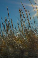 Through the Grass (Bud in Wells, Maine) Tags: dunegrass grass closeup sun parsonsbeach kennebunk maine
