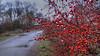 28.11.2017 Tiistaiaamu Tuesdaymorning Turku Åbo Finland (rkp11) Tags: 28112017 tiistai aamu tuesday morning turku åbo finland marraskuu november novembre 11月 十一月 11월 listopad พฤศจิกายน kasım ноябрь syksy autumn otoño autunno 秋 가을 outono jesień automne herbst ฤดูใบไม้ร่วง sonbahar осень hdrefexpro2 hdrphotogram sonyilce5100 puolipilvistä partlycloudy pilvet clouds cloudy dawn aamunkoi aamunkajo vesipisarat waterdrops punaisetmarjat redberries nummenranta nummenrantapolku ylioppilaskylä