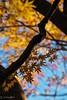 2017 Autumn leaves #9 (Yorkey&Rin) Tags: 2017 atami autumnleaves bluesky em5markii himenosawapark japan japanesemaple lateautumn momiji november olympus olympusm14150mmf4056ii rin shizuoka uc290107 モミジ゙ 紅葉 青空 静岡県 熱海市 晩秋 姫の沢公園