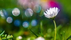 Daisy - 4167 (YᗩSᗰIᘉᗴ HᗴᘉS +12 000 000 thx❀) Tags: flora fleur flower bokeh 7dwf 7dayswithflickr color macro hensyasmine yasminehens supermacro nice beautiful nature