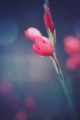 tears of the sun (christian mu) Tags: nature bokeh muenster münster germany flowers botanicalgarden botanischergarten schlossgarten christianmu autumn sonya7ii sony 9028g 9028 90mm macro