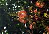নাগলিঙ্গম (Couroupita guianensis) (Saniya Ruby) Tags: flower dhaka নাগলিঙ্গম couroupitaguianensis lateautumn dhakaversity
