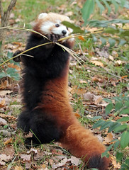 red panda Blijdorp BB2A5593 (j.a.kok) Tags: panda redpanda rodepanda animal blijdorp asia azie china mammal zoogdier dier kleinepanda