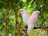 Am I Interupting Something? (Rudy Sempur) Tags: indonesia lombok westnusatenggaralessersundantb lombokelephantpark zoo animal fauna bokeh bird cockatoo parrot nature