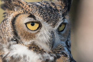 Max - male Great Horned Owl
