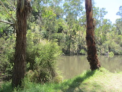 River Yarra near Warburton, Victoria (d.kevan) Tags: warburton victoria riveryarra rivers riverbanks grass plants trees undergrowth reflections