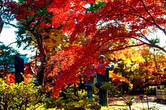 Autumn leaves of Gotokuji Temple (Dakiny) Tags: 2017 winter december japan tokyo setagayaward gotokuji city street temple gotokujitemple autumnleaves autumncolors maple red bokeh d750 afsnikkor50mmf18g nikonafsnikkor50mmf18g
