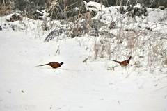 Pheasant Winter /Fácánok Tél (ejva.r007) Tags: ackerland animal arable bird fasan fasane fácán fácánok land madár pheasant pheasants szántóföld tier tél vogel állat