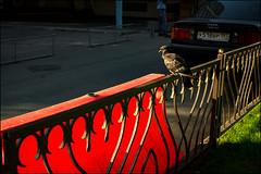 3_DSC8321 (dmitryzhkov) Tags: russia moscow documentary street life human reportage social public urban city photojournalism streetphotography people animalsinthecity bird animal aves fence enclosure sunlight sunshine dmitryryzhkov everyday candid stranger
