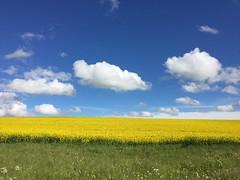 Colza (Conseil Départemental des Yvelines) Tags: champs ciel nature culture agriculture nuages ruralité biologique agriculture78 78 yvelines