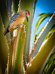 The Gila Woodpecker (http://fineartamerica.com/profiles/robert-bales.ht) Tags: arizona birds foothills forupload haybales people photo places projects states woodpeckers bird woodpecker aves black barredwings zebralike cactus melanerpesuropygialis whitestripe redcap churrsound yip aridregions beautiful sensational spectacular awesome surreal sublime gilawoodpecker inspirational colorful canonshooter wow stupendous superb tranquil southwest curious nestsincactus mesquite saguaro yucca desertregions sonorandesert insects seeds mexico robertbales melanerpes animal uropygialis gila