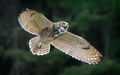 Great Horned Owl (Randy Lowden) Tags: greathornedowl owl flying bif randylowden canon canadianraptorconservancy